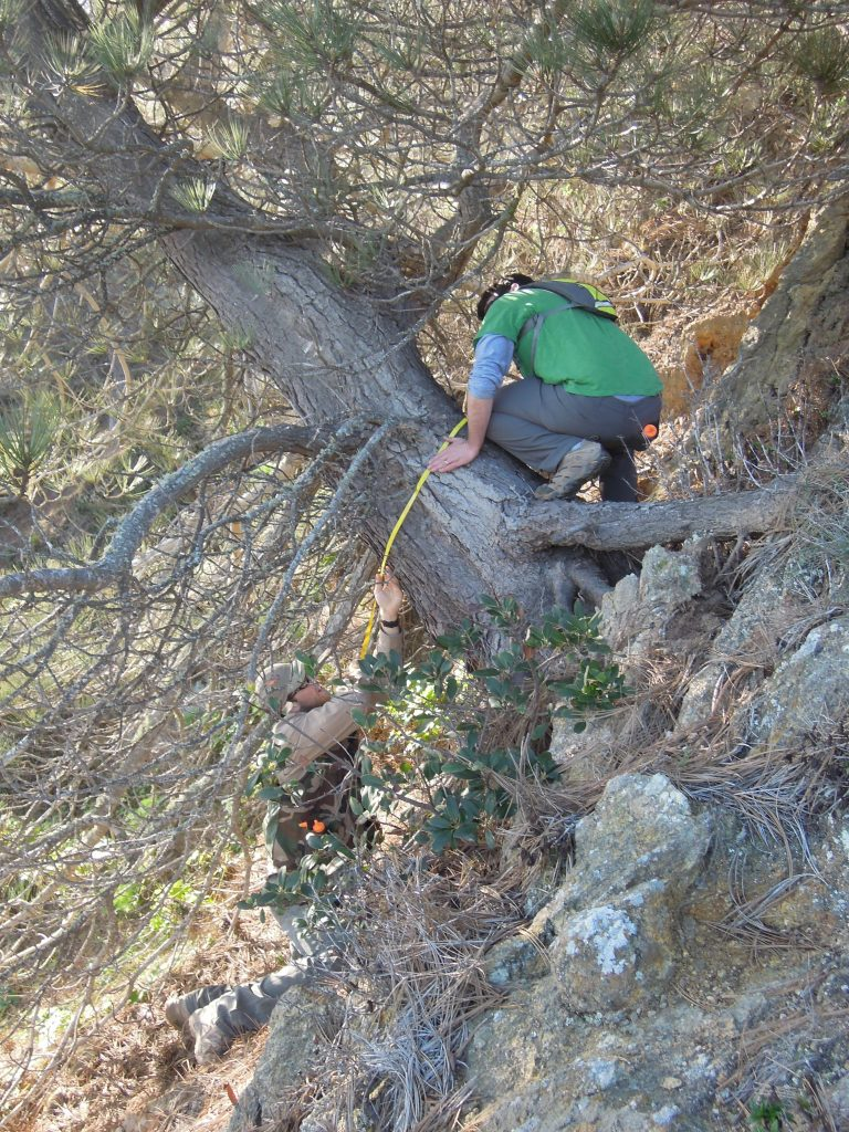 Measuring the DBH of a Torrey pine that is at least 80 years old near on the summits on Santa Rosa Island, CA.